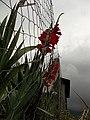 Flor de Palma em propriedade particular na Rua Amadeu Toniasso - panoramio.jpg