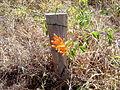 Flor nascendo do lado de uma cerca na área rural de Itaúna, MG, Brasil..jpg