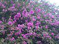 Flower dhara kheta.JPG