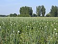 Flowering onion crop, Kirton Skeldyke, Lincs - geograph.org.uk - 195538.jpg