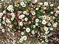 Flowers - panoramio (17).jpg