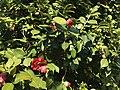 Flowers of Camellia japonica 20200317.jpg