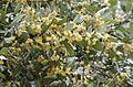 Flowers of Laurus nobilis - Laurel.JPG