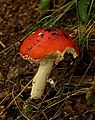 Fly agaric above North Malvern Quarry - geograph.org.uk - 975289.jpg