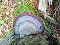 Fomitopsis pinicola 96017817.jpg