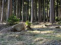 Forest at Wurmberg 07.jpg