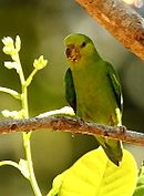 A yellow-green parrot with green wings, nape, and tail