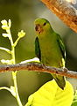 Forpus sclateri - Dusky-billed Parrotlet 01.JPG