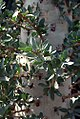 Fouquieria columnaris 0zz.jpg