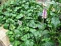 Francoa appendiculata - Berlin Botanical Garden - IMG 8766.JPG