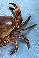 Fresh Crab (4386403111).jpg