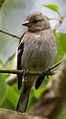 Fringilla coelebs -Quinton, Birmingham, England -juvenile-8.jpg