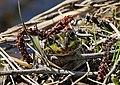 Froggie (46715979105).jpg