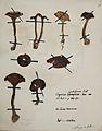 Fungi agaricus seriesI 063.jpg