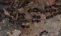 Fungus-growing Termites (Macrotermes carbonarius) (8682806337).jpg