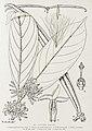 Funtumia africana-1906.jpg
