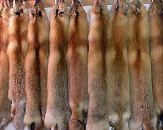 Fur - Furs of the red fox
