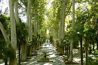 Platanus orientalis - Oriental planes in late medieval Khans Garden park. Ganja city, Azerbaijan.