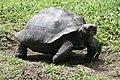 Galapagos Tortoise (46978450384).jpg