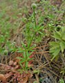Galium aparine near Peshastin Chelan County Washington.jpg