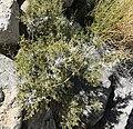 Galium stellatum var eremicum 7.jpg