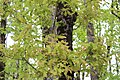 Galles Pommes de Chêne 2.jpg