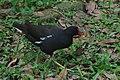 Gallinula chloropus -Taiwan-8.jpg