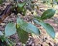 Gardenia gummifera 02.JPG
