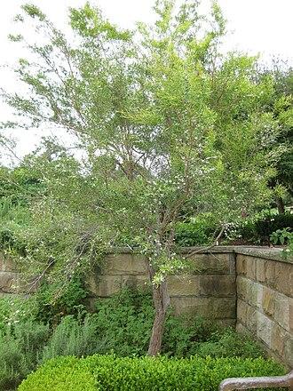 Leptospermum petersonii - Image: Gardenology.org IMG 2704 rbgs 11jan