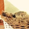 Gato Persa - Bic Blue Tortie & White 2.jpg