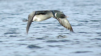 Common loon - In flight