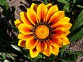 Gazania flower 004.jpg