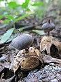 Geastrum pectinatum Pers 731124.jpg