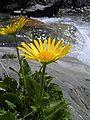 Gelbe Pflanze vor Wasserfall.jpg