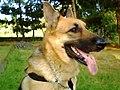 Geman shepherd Ruby.JPG
