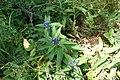Gentiana cruciata, familija Gentianaceae 06.jpg