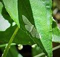 Geometrid Moth (27850631098).jpg