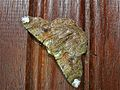 Geometrid Moth (Lophophelma vigens) (6985119116).jpg