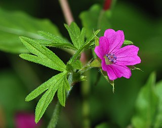 <i>Geranium</i> Genus of flowering plants in the family Geraniaceae