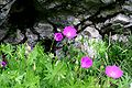 Geranium sanguineum ENBLA02.jpeg