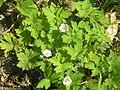 Geranium sibiricum3.JPG