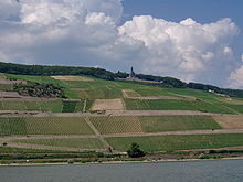 Modern vineyards on the banks of the Rhine river in Germany.