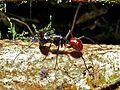 Giant Ant (Camponotus gigas) (6731241753).jpg