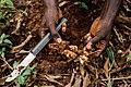 Ginger farming.jpg