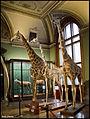 Giraffa (15711285145).jpg