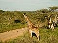 Giraffe (2404475005).jpg