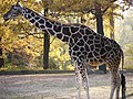 Giraffe (6314337465).jpg