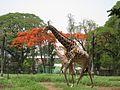 Giraffe mysuru zoo april.jpg
