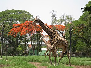 Mysore Zoo - The tall members of the zoo