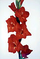 Gladiolo1-1.jpg